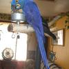 Hyacinth Macaw on a Play Stand